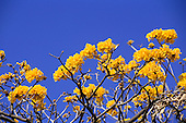 Arenal, Costa Rica. Sunlight catching bright yellow flowers on a leafless tree.