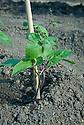 Young Runner bean 'Enorma' seedlings, late May.
