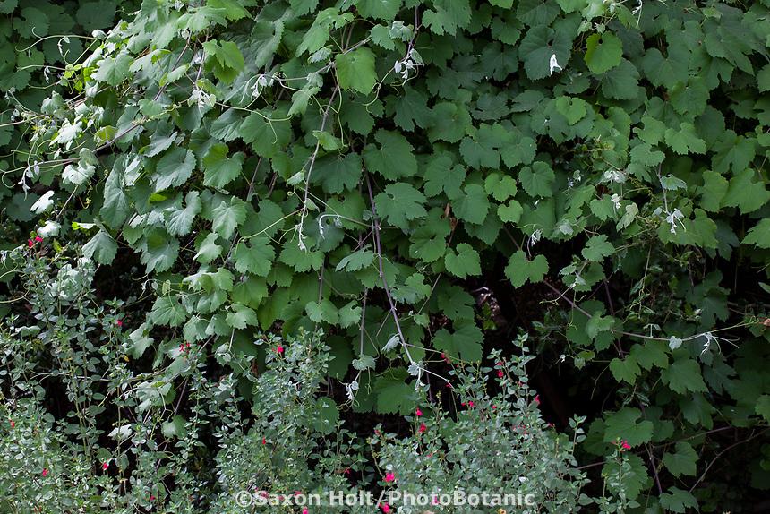 Vitis girdiana, Desert Wild Grape, California native vine; Tree of Life Nursery