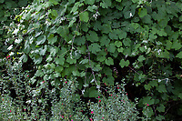 Vitis girdiana, Desert Wild Grape, California native vine; Tree of Life Nursery