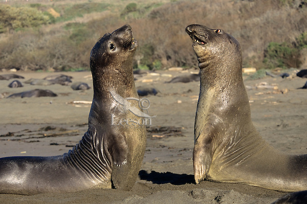 """Two young male Northern Elephant Seals square off for a bit of """"practice"""" sparring on a California beach."""