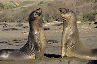 "Two young male Northern Elephant Seals square off for a bit of ""practice"" sparring on a California beach."