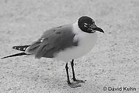 0711-0806  Immature Franklin's Gull, Larus pipixcan © David Kuhn/Dwight Kuhn Photography