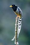 Adult yellow-billed blue magpie (Urocissa falvirostris). Mid montane forest, Himalayan foothills, Singalila National Park, India.