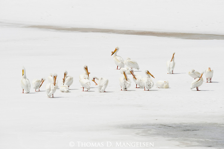American White Pelicans stand on the ice at Oxbow Bend in Grand Teton National Park, Wyoming.