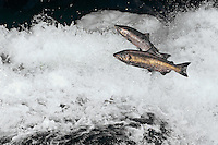 Chinook or king salmon (Onorhynchus tshawytscha) jumping rapids on Columbia River tributary.  Fall.