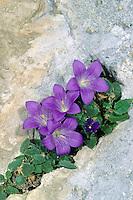 Dolomiten-Glockenblume, Campanula morettiana, Dolomite bellflower