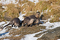 Northern River Otter (Lontra canadensis) along bank of river.  Western U.S., winter.