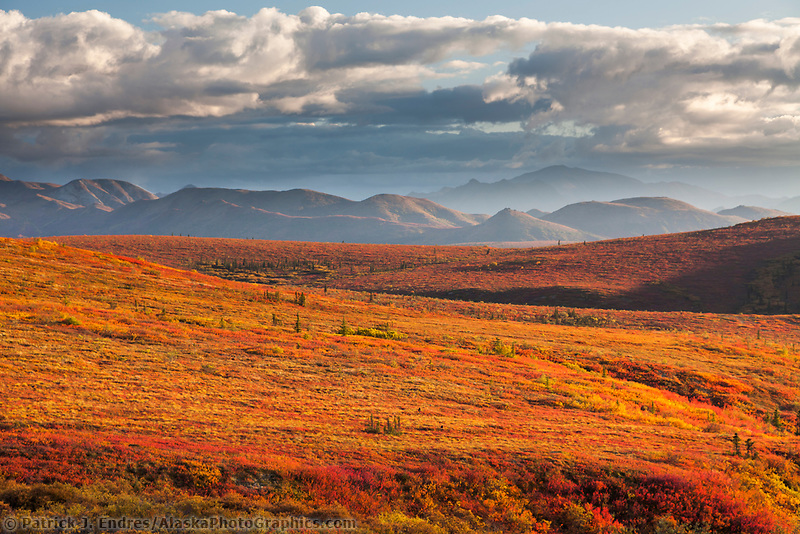 Crimson colored dwarf birch covers the autumn tundra in Denali National Park