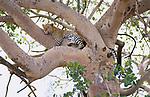 Leopard, Serengeti, Tanzania, 2006.