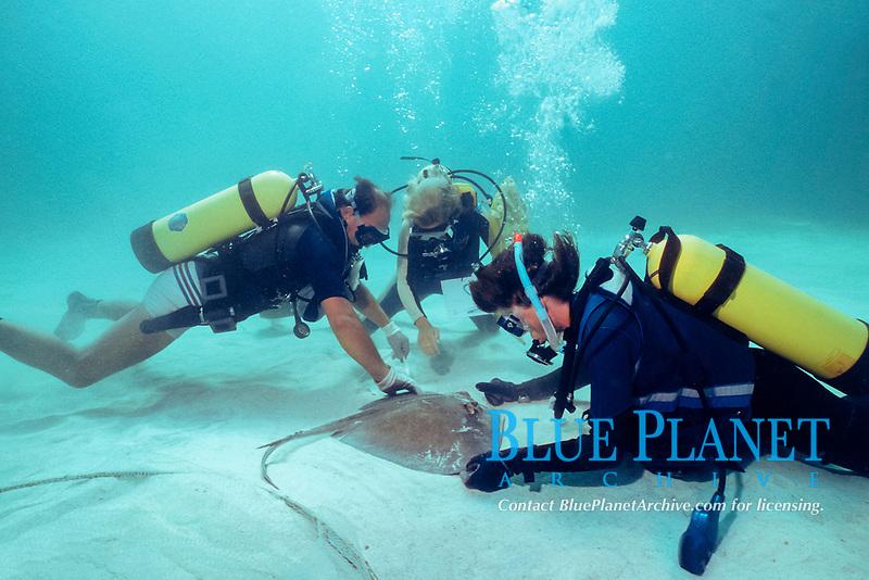 biologists, measuring a southern stingray, Dasyatis americana, during University of Miami research, Bahamas, Caribbean Sea, Atlantic Ocean