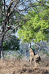 Adult bull African Elephant (Loxononta africana) feeding on foliage on the banks of the Luangwa River. South Luangwa National Park, Zambia.