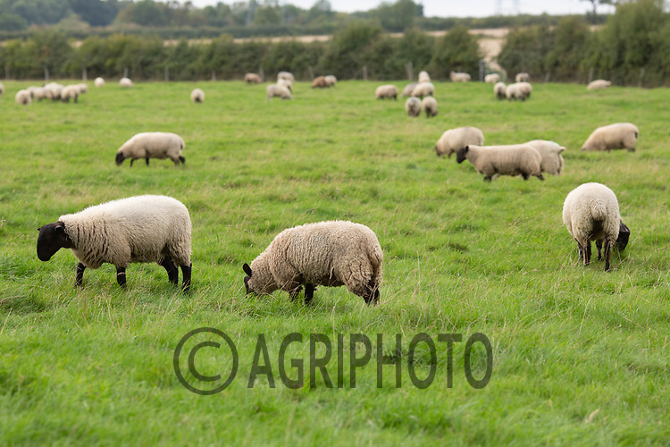 7.9.2020 Store lambs on grass<br /> ©Tim Scrivener Photographer 07850 303986<br />      ....Covering Agriculture In The UK.