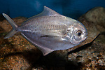 American Butterfish swimming right