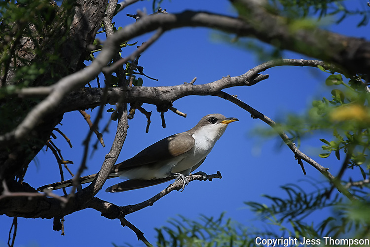 Yellow-billed Cuckoo, San Angelo State Park