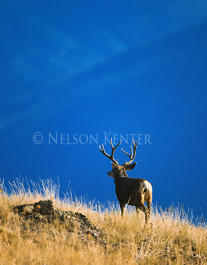 Trophy Mule Deer buck in Montana