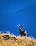 WILDLIFE / Mule Deer Photography