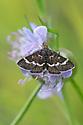 Wavy-barred Sable (Pyrausta nigrata), Rough Bank SSSI, a flower-rich limestone grassland reserve. Gloucestershire, July.