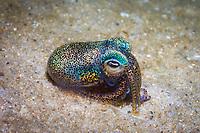 southern dumpling squid, or southern bobtail squid, Euprymna tasmanica, bioluminescent, Port Stephens, New South Wales, Australia, Pacific Ocean