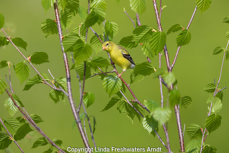 American goldfinch - female perched in a speckled alder in northern Wisconsin.