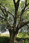 T-131 Atlantic Pistachio tree in Ein Ulam