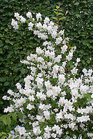 Philadelphus coronarius shrub in white spring fragrant bloom