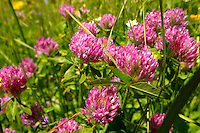 Alpine clover. Alpine summer meadow.  Bernese Alps Switzerland.