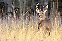 00274-305.19 White-tailed Deer Buck is in bluestem meadow during fall.  Hunt, hunting, antlers, rut.  H3A1
