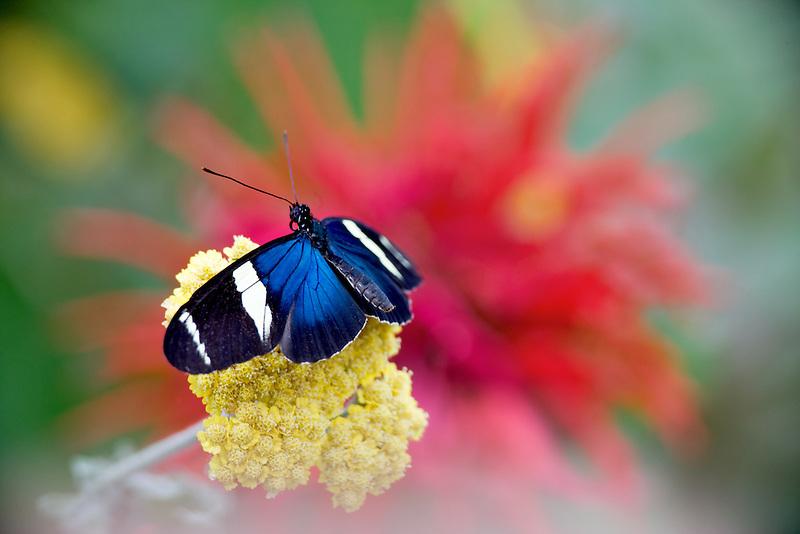 Small Blue Grecian butterfly(Heliconius sara). Portland Zoo butterfly garden. Oregon