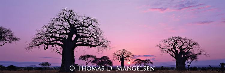 The sun setting behind baobab trees in Tarangire National Park, Tanzania.