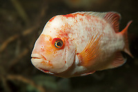 Midas Cichlid, Amphilophus citrinellus, range: endemic to Costa Rica and Nicaragua in Central America, freshwter, c