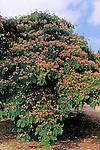 12428-CA Mimosa or Silk Tree, Albizia julibrissin at Arboretum of California State University, Fullerton, USA.