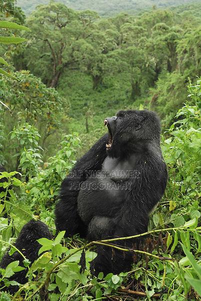 Mountain Gorilla (Gorilla beringei beringei), Silverback with open mouth, Volcanoes National Park, Rwanda