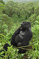Mountain Gorilla (Gorilla beringei beringei), Silverback with open mouth, Volcanoes National Park, Rwanda