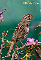 SW01-502z Song Sparrow Male, Melospiza melodia.