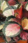 17295-CU Calathea, houseplant, Calathea 'Rosy' roseopicta tender perennial from Brazil, in April at Santa Paula, CA USA