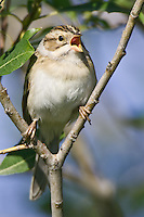 Clay-colored Sparrow singing from a pair of branches