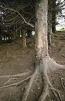 Wildschwein Schubberbaum, Kratzbaum, Malbaum, Wildschwein hat durch Reiben die Rinde im unteren Bereich eines Baumes abgewetzt, Schwarzwild, Sus scrofa, wild boar, pig