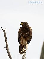 0405-1209  Harris's Hawk Perched Looking for Prey, Harris Hawk (Bay-winged Hawk or Dusky Hawk), Parabuteo unicinctus  © David Kuhn/Dwight Kuhn Photography