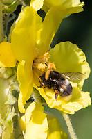 Erdhummel, Erd-Hummel, Weibchen, Blütenbesuch an Königskerze, Verbascum, mit Pollenhöschen, Bombus spec., Bombus, bumble bee, wahrscheinlich Bombus lucorum-Komplex, Helle Erdhummel, Hellgelbe Erdhummel, Bombus cf. lucorum, white-tailed bumblebee