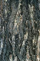 Schwarz-Kiefer, Rinde, Borke, Stamm, Schwarzkiefer, Schwarzföhre, Kiefer, Pinus nigra, Pinus austriaca, Black Pine, Austrian pine, Le Pin noir d'Autriche