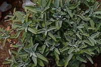 ALBANIA, Shkodra, farming of herbal and medical plants, sage plant crossing at Salvia Nord / ALBANIEN, Shkoder, Anbau von Heil- und Gewuerzpflanzen, Zuechtung von Salbeipflanzen bei Salvia Nord