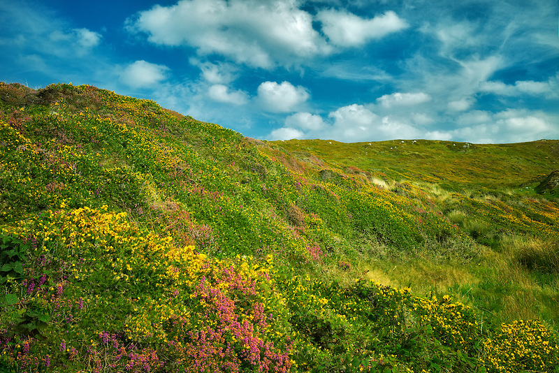 Wildflowers. Sky Loop Road. Clifden, Ireland