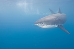 Guadalupe Island, Baja California, Mexico; a large, adult male Great White Shark (Carcharodon carcharias) swims near the surface in the blue water