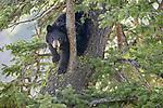 Yellowstone National Park, WY: American Black Bear (Ursus americanus) in a Douglas Fir tree