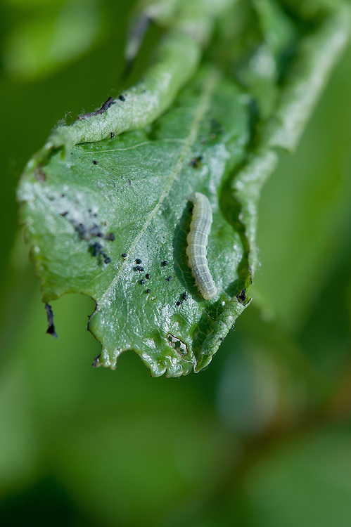 Caterpillar of winter moth (Operophtera brumata) on pear leaf, early May.