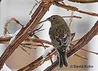 "1228-07vv  House Finch ""Female in Winter"" - Carpodacus mexicanus - © David Kuhn/Dwight Kuhn Photography."