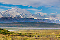 Wolf Walks On The Tundra Expanse With Mt. Denali Looking In The Distance, Denali National Park, Interior, Alaska.