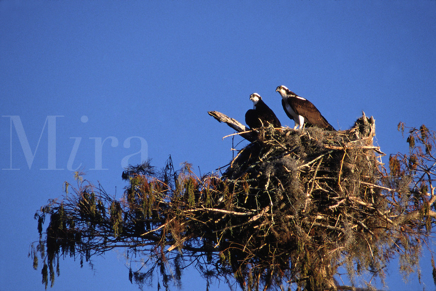 Two Osprey's, Pandion haliaetus, in a platorm nest in the Everglades in Florida.