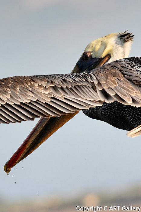 Over the Shoulder: pelican circling overhead, Bolsa Chica, CA.